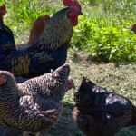 Unsere Hühnerfarm :)